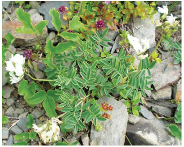 Астрагал Крайни (Astragalus krajinae Domin (A. australis (L.) Lam. subsp. krajinae (Domin) Dostál))