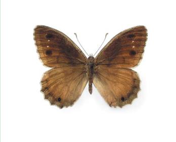 Сатир железный (Hipparchia statilinus (Hufnagel, 1766))