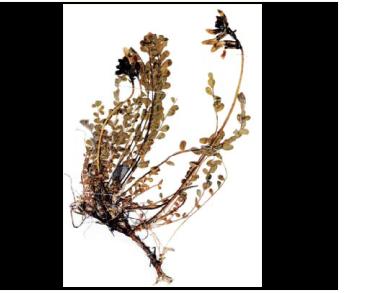 Астрагал подібний (Astragalus similis Boriss.)