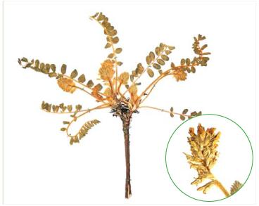Астрагал донской (Astragalus tanaiticus K.Koch)