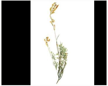 Астрагал Цингера (Astragalus zingeri Korsh.)