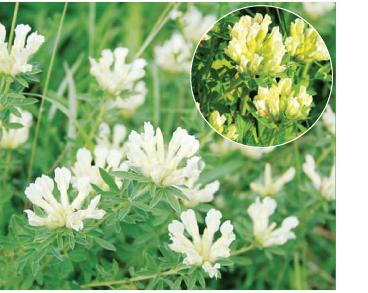 Ракитник белый (Chamaecytisus albus (Hacq.) Rothm. (Cytisus albus Hacq.))