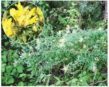 Ракитник Рошеля (Chamaecytisus rochelii (Wierzb.) Rothm. (Cytisus rochelii Wierzb.))