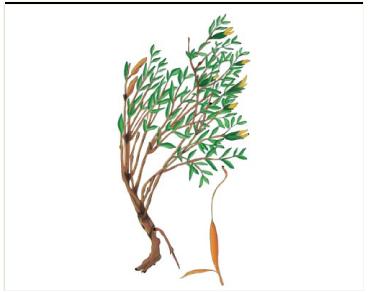 Дрок четырёхгранный (Genista tetragona Besser (G. tinctoria L. var. depressa (M.Bieb.) Schmalh.))