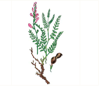Копеечник меловой (Hedysarum cretaceum Fisch.)