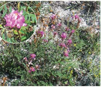 Солодушка українська (Hedysarum ucrainicum Kaschm.)