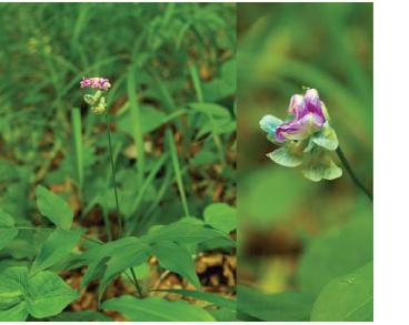 Чина пёстрая (Lathyrus venetus (Mill.) Wohlf. (L. variegatus (Ten.) Gren. et Godr., Orobus variegatus Ten., O. venetus Mill.))