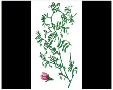 Сочевиця східна (Lens orientalis (Boiss.) Schmalh. (Ervum orientale Boiss.; Lens culinaris Medik. subsp. orientalis (Boiss.) Ponert; Vicia orientalis (Boiss.) Beg. et Diratz.))