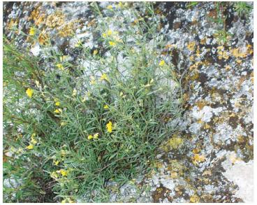 Люцерна щебнистая (Medicago saxatilis M.Bieb.)