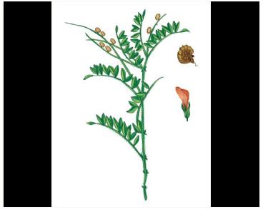 Еспарцет Васильченка (Onobrychis vassilczenkoi Grossh. (O. radiata auct. non (Desf.) M. Bieb.; Xanthobrychis vassilczenkoi (Grossh.) Galushko))