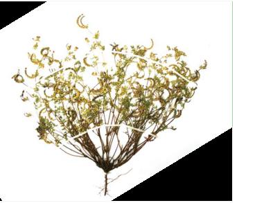 Пташник крихітний (орнітопус крихітний) (Ornithopus perpusillus L.)