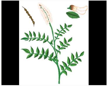 Софора китникоподібна (Sophora alopecuroides L. (Vexibia alopecuroides (L.) Jakovl., incl. Vexibia alopecuroides (L.) Jakovl. subsp. jaubertii (Spach) Jakovl.; Sophora prodanii E.S. Anderson))