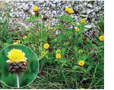Конюшина темно-каштанова (Trifolium badium Schreb. (Chrysaspis badia (Schreb.) Greene))