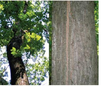 Дуб кошенільний (дуб австрійський) (Quercus cerris L. (Q. austriaca Willd.))