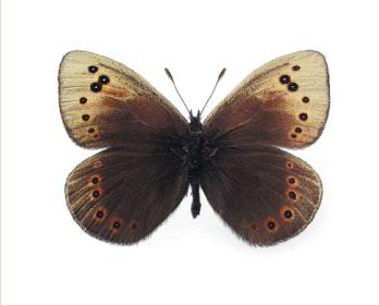 Чернушка степная (Proterebia afra (Fabricius, 1787) (= phegea Borkhausen, 1788))