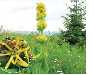 Тирлич жовтий (Gentiana lutea L.)