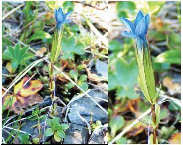Тирлич сніговий (Gentiana nivalis L.)