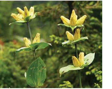 Горечавка точечная (Gentiana punctata L.)