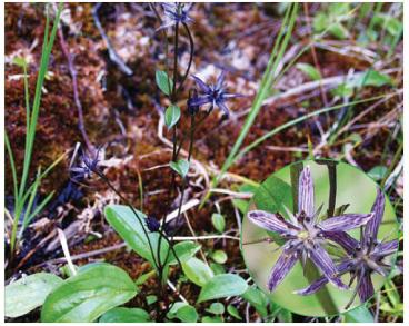 Сверція багаторічна (бешишниця багаторічна) (Swertia perennis L. (incl. S. alpestris Baumg. ex Fuss, S. perennis L. subsp. alpestris (Baumg. ex Fuss) Simonk.))