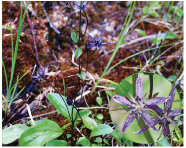 Swertia perennis L. (incl. S. alpestris Baumg. ex Fuss, S. perennis L. subsp. alpestris (Baumg. ex Fuss) Simonk.)