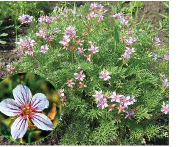 Грабельки Бекетова (Erodium beketowii Schmalh.)