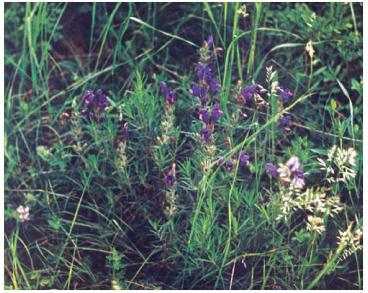 Змієголовник Рюйша (Dracocephalum ruyschiana L. (Ruyschiana spicata Mill.))