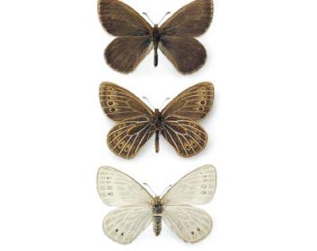 Трифіза Фрина (Triphysa phryne (Pallas, 1771))