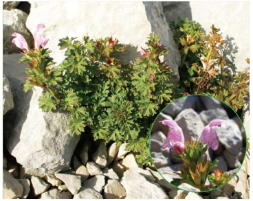 Глуха кропива гола (Lamium glaberrimum (K.Koch) Taliev)