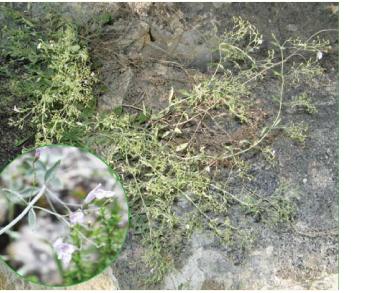 Мікромерія чебрецелиста (Micromeria serpyllifolia (M.Bieb.) Boiss. (Clinopodium serpyllifolium (M.Bieb.) Kuntze; M. fruticosa (L.) Druce subsp. serpyllifolia (M.Bieb.) P.H.Davis; Nepeta serpyllifolia M.Bieb.))