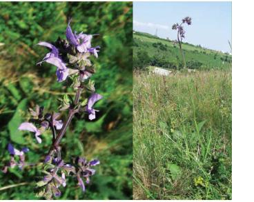 Шавлія кременецька (Salvia cremenecensis Bess.)