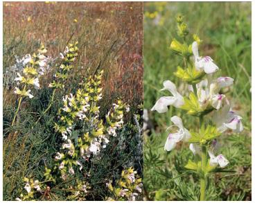 Шалфей скабиозолистный (Salvia scabiosifolia Lam.)