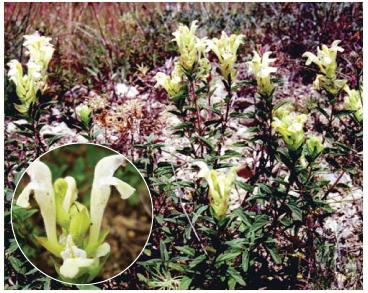 Шоломниця весняна (Scutellaria verna Besser (S. supina auct. non L.))