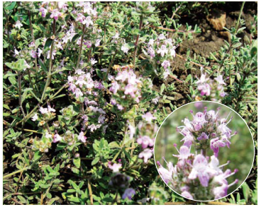 Чебрець кальміуський (Thymus kaljmijussicus Klokov et Des.-Shost. (T. kalmiussicus Klokov et Des.-Shost., ortho))