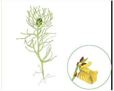 Пузырчатка Брема (Utricularia bremii Heer (U. minor L. subsp. bremii (Heer) Nyman))