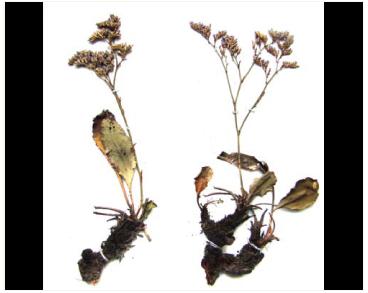 Кермек чурюкський (Limonium tschurjukiense (Klokov) Lavrenko ex Klokov (Statice tschurjukiensis Klokov; L. tomentellum auct. non (Boiss.) Kuntze; L. dubium Gamajun. ex Klokov))
