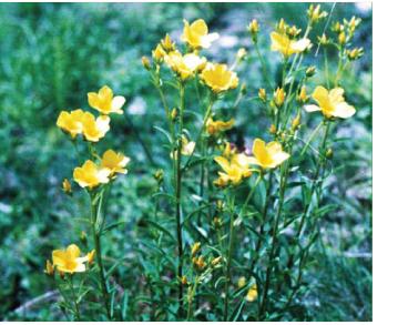 Льон бесарабський (Linum basarabicum (Savul. et Rayss) Klokov ex Juz. (L. flavum L. var. basarabicum Săvul. et Rayss))