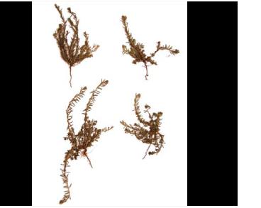 Дербенник тимьянолистный (Lythrum thymifolia L.)