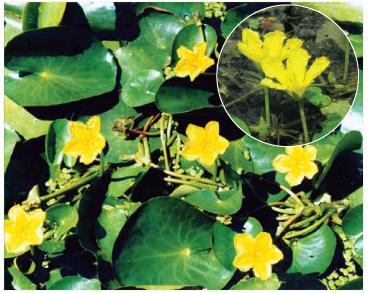 Плавун щитолистный (Nymphoides peltata (S.G. Gmel.) Kuntze)