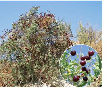 Селітрянка Шобера (Nitraria schoberi L.)