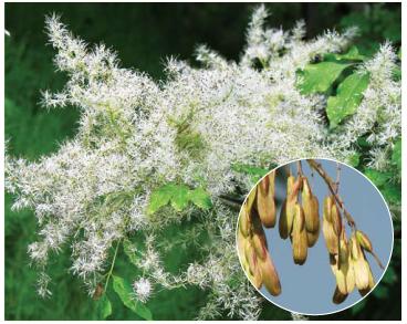 Ясень белый (Fraxinus ornus L.)