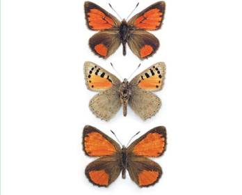 Томарес каллімах (Tomares callimachus (Eversmann, 1848))
