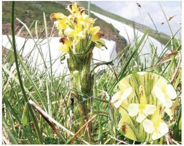 Шолудивник Едера (Pedicularis oederi Vahl (P. versicolor Wahlenb.))