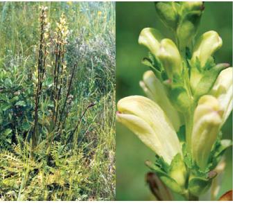 Шолудивник королівський (Pedicularis sceptrum-carolinum L.)