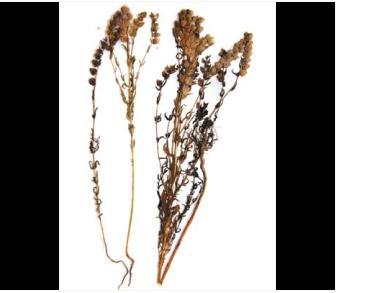 Дзвінець крейдовий (Rhinanthus cretaceus Vassilcz. (R. serotinus (Schönh.) Oborny subsp. cretaceus (Vassilcz.) Soó))