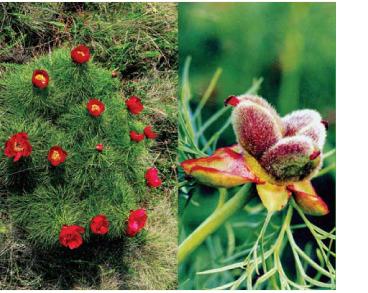 Півонія тонколиста (Paeonia tenuifolia L. (P. biebersteiniana Rupr., P. lithophila Kotov, P. tenuifolia L. subsp. biebersteiniana (Rupr.) Takht.))