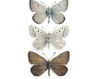 Голубянка пиренейская (Agriades pyrenaicus (Boisduval, 1840))