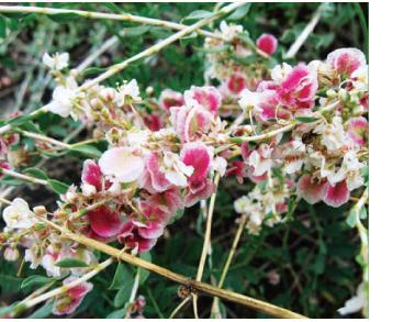 Курчавка кустарниковая (Atraphaxis frutescens (L.) K. Koch.)