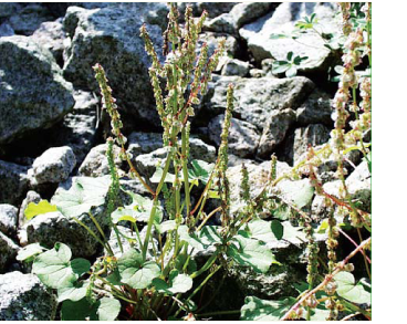 Кисличник двустолбиковый (Oxyria digyna (L.) Hill (Rumex digynus L.))
