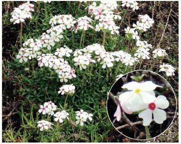 Переломник Козо-Полянського (Androsace koso-poljanskii Ovcz. (A. villosa L. subsp. koso-poljanskii (Ovcz.) Fed.))
