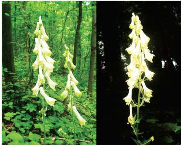 Aconitum besserianum Andrz. ex Trautv. (~ A. lycoctonum aggr.)